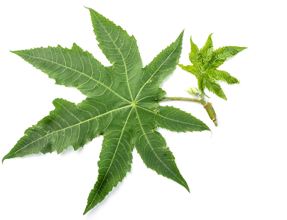 castor-leaf